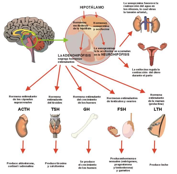 hormonas del cuerpo humano